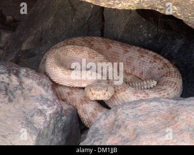 pale rattlesnake in the Grand Canyon. Rattlesnakes are a group of venomous snakes of the genera Crotalus and Sistruru - Stock Image