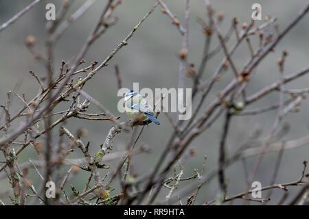 Wildlife, bird, Male, Blue Tit on Branch - Stock Image