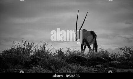 Black and white Gemsbok walking away into cloudy sky in dry arid bushy desert Karoo - Stock Image