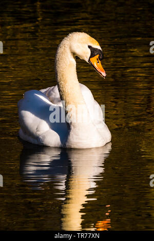 Mute Swan at the Serpentine Lakes, Wimpole Estate, Cambridgeshire, UK - Stock Image