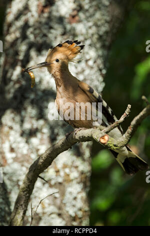 Hoopoe, Latin name Upupa epops, perched on a branch with crest raised and a grub in its beak in woodland habitat in dappled sunlight - Stock Image