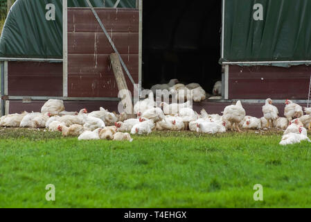 Organic free range chickens outside a chicken shed being allowed to live a more natural life in the outdoors - Stock Image