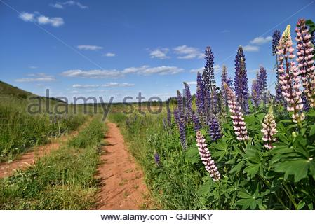 Purple and white Lupines grow along a rural road - Stock Image