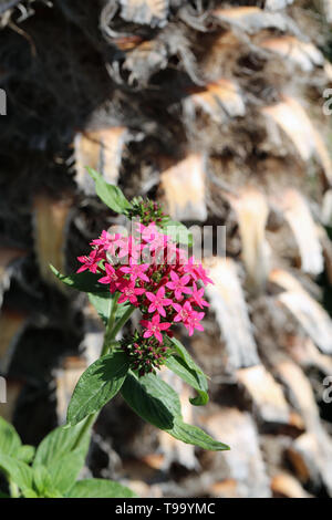 Beautiful small pink flowers with some green leaves and a palm tree trunk in the background. Photographed during a sunny day in Madeira. Lovely! - Stock Image