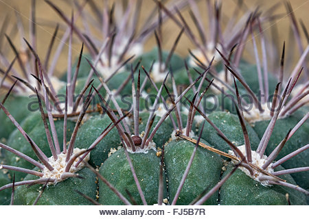 Gymnocalycium, commonly known as chin cactus - Stock Image