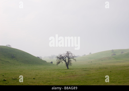 Lone oak tree (Quercus sp.) in field Kern County California USA - Stock Image