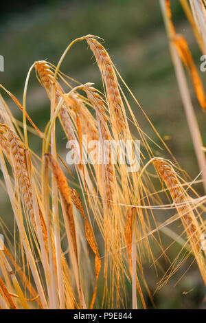 close up of ears of wheat in summer sun close to harvesting - Stock Image