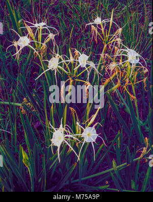 Spider lilies, Big Thicket National Preserve, Texas  Hymenocallis liriosome - Stock Image