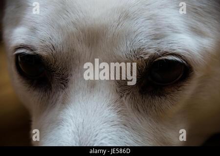 White Dog's eyes - Stock Image