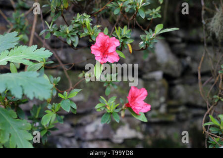 Lovely pink flower in closeup taken with a macro lens. In this photo you can see the bright pink flower during a sunny day and some dark wall. - Stock Image