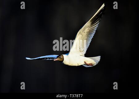 Black-headed Gull in flight - Stock Image