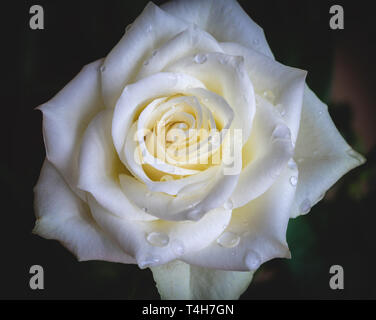 Macro or close up of a white rose flower with droplets of rain on it - Stock Image