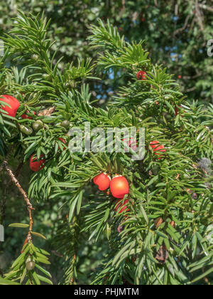 Foliage and poisonous red berries of a Yew (Taxus baccata) tree in sunshine. - Stock Image
