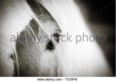 Haflinger horses eye - Stock Image
