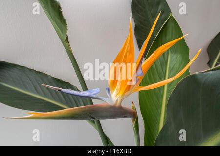 Strelitzia indoor plant in flower - bird of paradise flower. - Stock Image