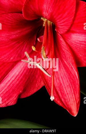 Red Amaryllis Blossom - Stock Image