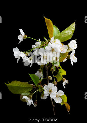 White single flowers of the wild cherry tree, Prunus avium, in early spring bloom against a black background - Stock Image