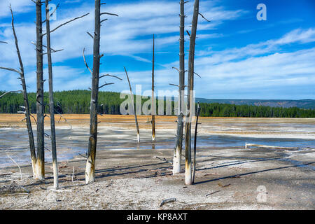 Dead Fir trees in the Yellowstone thermal area, Upper Geyser Basin. Yellowstone National Park, Wyoming, USA - Stock Image