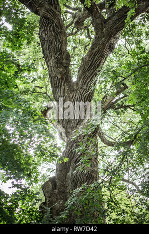 Low Angle View of Large Oak Tree Trunk and Limbs with Green Leaves - Stock Image
