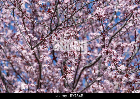 Flowering cherry tree; California, USA - Stock Image