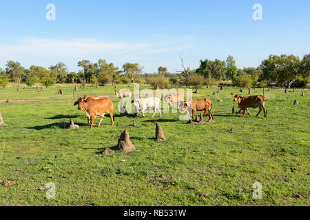 Heads of cattle on grazing land with termite mounds near  Mt Surprise, Savannah Way, Queensland, QLD, Australia - Stock Image