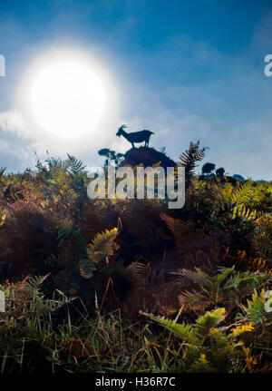 Feral wild goat against blue sky in ferns in the Valley of the Rocks Lynton Lynmouth North Devon - Stock Image