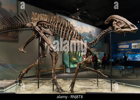 Fossil skeleton of a duck-billed dinosaur Hadrosaurus in display. The Field Museum, Chicago, Illinois, USA. - Stock Image