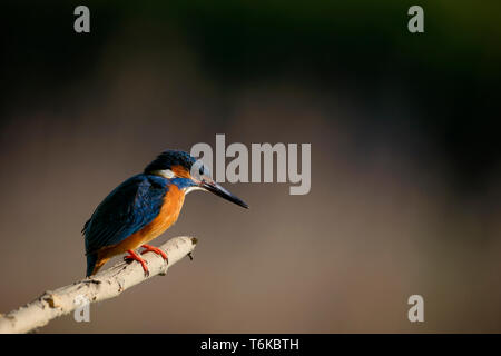 Kingfisher bird on tree branch looking for fish - Stock Image