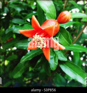 Pomegranate flower in bloom - Stock Image