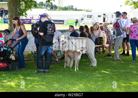 90th Kent County Show, Detling, 6th July 2019. Big Afghan Hound at the show ground - Stock Image
