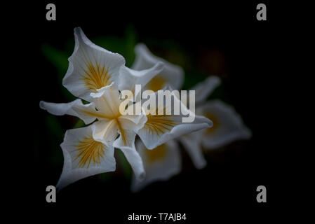 White African Iris, Dietes iridioides, on dark background, top view. This an ornamental plant in the Iridaceae family the flowers last only one day. - Stock Image