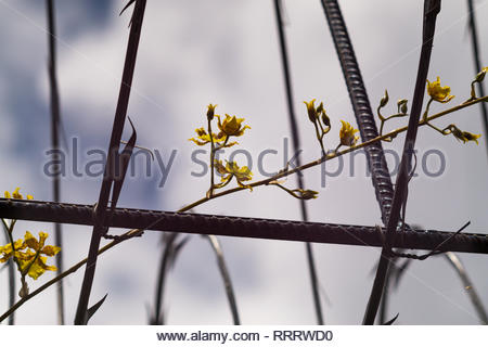 An Oncidium sphacelatum flower spike grows through razor wire over a open passageway in a house in Nicaragua - Stock Image