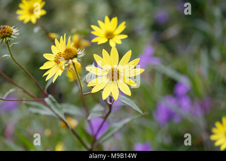 Helianthus divaricatus - Woodland Sunflower - September - Stock Image