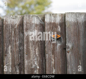 Small Tortoiseshell butterfly Aglais urticae on wooden fence - Stock Image