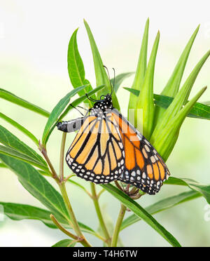 Female monarch butterfly laying eggs on a swamp milkweed plant. Eggs are visible on seed pods. - Stock Image