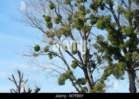 European mistletoe, also known as common mistletoe is heavily parasitizing black poplar trees. Lots of mistletoe - Stock Image