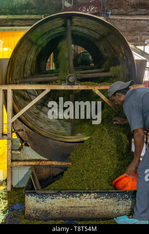 Vertical view of a worker at a tea factory in Munnar, India. - Stock Image
