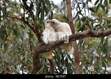 Two Australian, Queensland Little Corellas ( Cacatua sanguinea ) preening each other - Stock Image