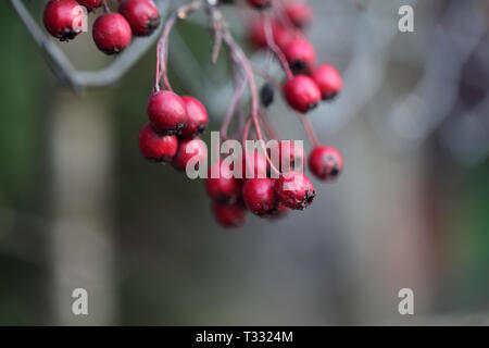 Red berries hanging from a tree branch. The background has beautiful soft bokeh in earthy tones including greys, greens and white. Closeup photo. - Stock Image