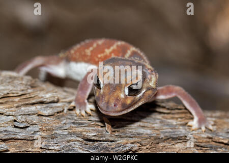 Smooth Knob-tail Gecko Nephrurus levis - Stock Image
