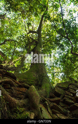 texture of the root of the old big tree - Stock Image