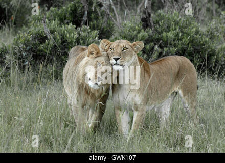 A male lion nuzzles his mother. Kenya. - Stock Image
