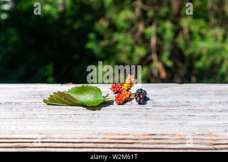 Black and red ripe and unripe fallen mulberries on wooden railing picked from garden farm with green leaf macro closeup - Stock Image
