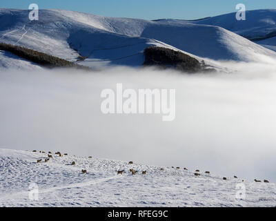 Sheep, snowy Southern Uplands from Langlaw hill, near Broughton, Scotland - Stock Image