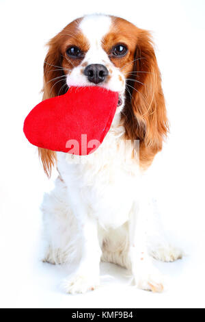 Dog with big heart. Lovely king charles spaniel pet photo for every concept. Dog Puppy with soft heart toy. Trained - Stock Image