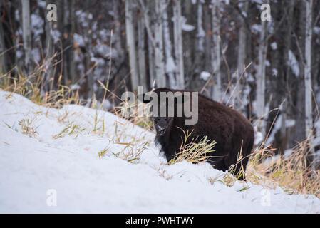 Bison calf in snow, Elk Island National Park, Alberta, Canada - Stock Image