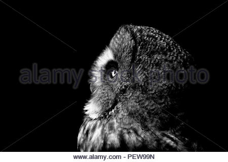 Great Grey Owl portrait in Black and White showing a side view of the owls head. - Stock Image