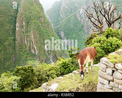 A llama eating grass in the Machu Picchu citadel - Stock Image