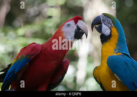 Couple of parrots perching on tree branch (Scarlet Macaw & Blue and Gold Macaw) - Stock Image