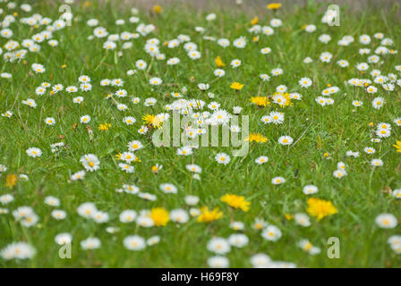 Daisies and dandelions in an untidy lawn. - Stock Image
